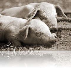 Piglets in Sepia